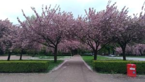 Hambourg, cerisiers en fleurs