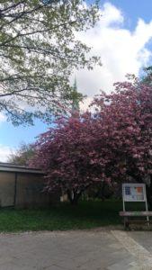 Marcher sous les cerisiers à Hambourg