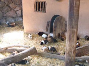 Les cochons d'Inde du Oasis Park de Fuerteventura