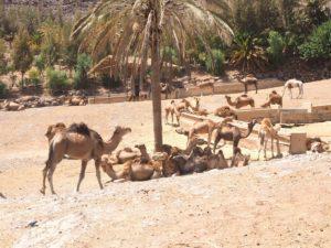 Les dromadaires de l'Oasis Park de Fuerteventura