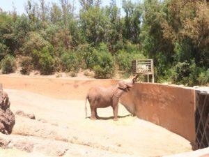 Un éléphant de l'Oasis Park de Fuerteventura