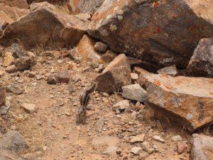Un écureuil sur la route de Fuerteventura