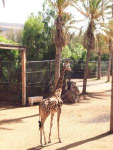 Une girafe de l'Oasis Park de Fuerteventura