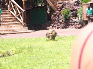 Hibou à l'oasis Park de Fuerteventura