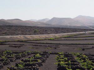 Les vignes de Lanzarote