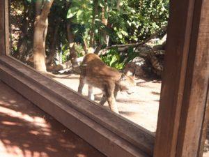 Le lynx de l'Oasis Park de Fuerteventura