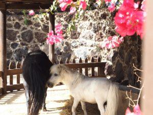 Le poney Emo du Oasis Park de Fuerteventura