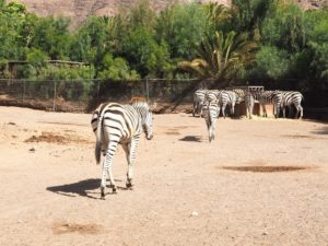 Un zèbre de l'Oasis Park de Fuerteventura