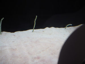 Anguilles jardinières à l'aquarium d'Osaka
