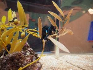 Hippocampes à l'aquarium d'Osaka