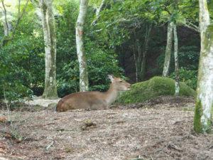 Un daim dans la forêt Momiji