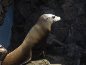 Phoque à l'aquarium d'Osaka