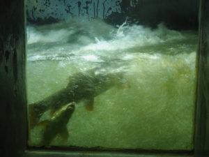 La passe à poissons Bazacle