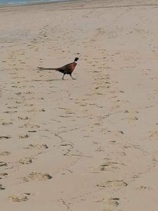 Un faisan sur la plage