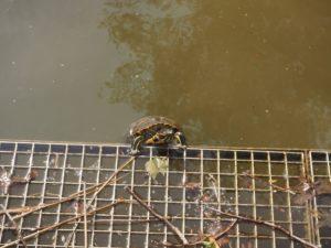 Une tortue de parc