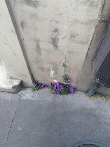 Fleur d'asphalte