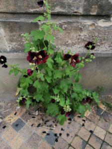 L'invasion des roses trémières