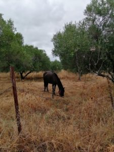 Un cheval dans la campagne grecque